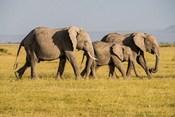 Africa, Kenya, Amboseli National Park, Elephant