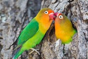 Two Fischer's Lovebirds Nuzzle Each Other, Tanzania