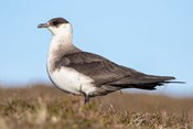 Arctic Skua Great Britain, Scotland, Shetland Islands