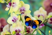 Brush-Footed Butterfly, Callithea Davisi On Orchid