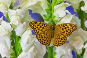 European Silver-Washed Fritillary Butterfly On Snapdragon Flower