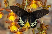 Priapus Batwing Swallowtail Butterfly From SE Asia