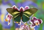 Crassus Swallowtail Butterfly