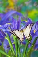 Short-Lined Kite Swallowtail
