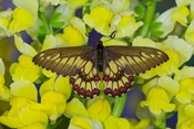 Butterfly Eurytides Corethus In The Papilionidae Family