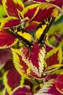 Orange Kite Swallowtail Butterfly
