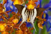 Graphium Dorcus Butongensis Or The Tabitha's Swordtail Butterfly