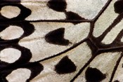 Wing Pattern Of Tropical Butterfly 1