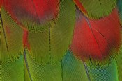 Breast Feathers Of Harlequin Macaw