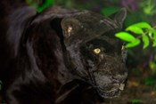 Black Jaguar, Belize City, Belize