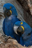 Brazil, Pantanal Wetlands, Hyacinth Macaw Mated Pair On Their Nest In A Tree