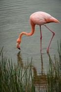 Greater Flamingo, Punta Moreno Isabela Island Galapagos Islands, Ecuador
