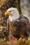 Alaska, Chilkat Bald Eagle Preserve Bald Eagle On Ground