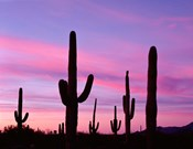 Arizona, Saguaro Cacti Silhouetted By Sunset, Ajo Mountain Loop