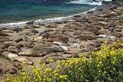 Northern Elephant Seals Sun Bathing In Cali
