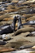 Northern Elephant Seals Fighting, California