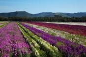 Santa Barbara Flower Fields, California