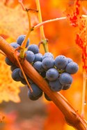 Dew Covered Grapes In Napa Valley