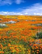 California Poppy Reserve Near Lancaster, California