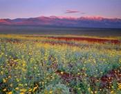 Desert Sunflower Landscape, Death Valley NP, California
