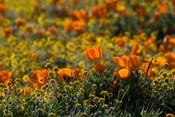 Golden California Poppy Field