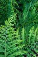 Bracken Fern In Nature