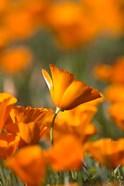 Detail Of Golden California Poppy In Antelope Valley