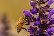 Honey Bee On Salvia Blossoms