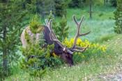 Bull Elk Grazing In Rocky Mountain National Park