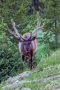 Bull Elk In The Rocky Mountain National Park Forest