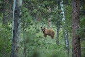 Cinnamon Phase Black Bear In A Forest