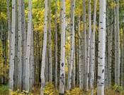 Aspen Displays Fall Color In The West Elk Mountains