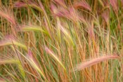 Fox-Tail Barley, Routt National Forest, Colorado