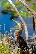 Anhinga In Everglades NP, Florida