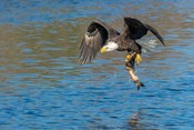 Eagle Catching A Fish,  St John River