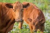 Close-Up Of Red Angus Cow