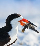 Black Skimmer With Food, Gulf Of Mexico, Florida