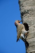Northern Flicker At Nest Cavity, Florida