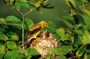 American Goldfinch With Nestlings At Nest, Marion, IL