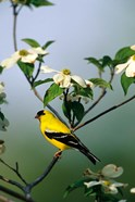 American Goldfinch In A Dogwood Tree, Marion, IL