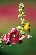 American Goldfinch On Hollyhock, Marion, IL