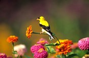 American Goldfinch On Zinnias, Marion, IL