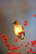 Cedar Waxwing In Common Winterberry, Marion, IL