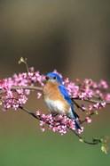 Eastern Bluebird In Redbud Tree, Marion, IL
