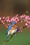 Eastern Bluebird N Redbud Tree In Spring, Illinois