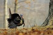 Eastern Wild Turkey Strutting, Illinois