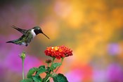 Ruby-Throated Hummingbird At Dallas Red Lantana