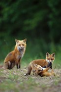 Red Fox Adults With Kit