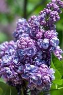 Purple Lilac Tree, Arnold Arboretum, Boston