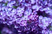 Close-Up Of A Purple Lilac Tree, Arnold Arboretum, Boston